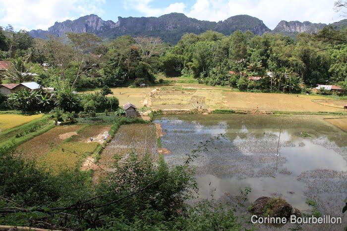 Les rizières de Lemo. Pays Toraja, Sulawesi, Indonésie. Juillet 2010.