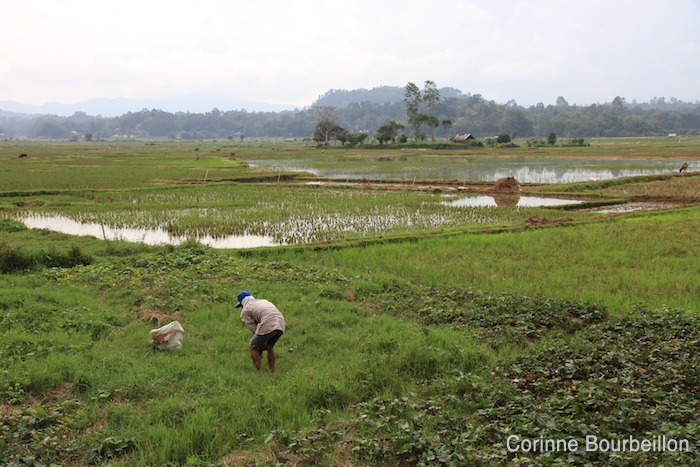 Rizières. Pays Toraja, Sulawesi, Indonésie. Juillet 2010.