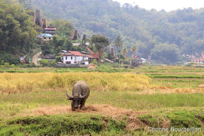 Un buffle dans les rizières du pays Toraja. Sulawesi, juillet 2010.