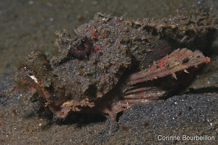 Poisson-scorpion. Lembeh Strait, Sulawesi, Indonésie. Juillet 2010.