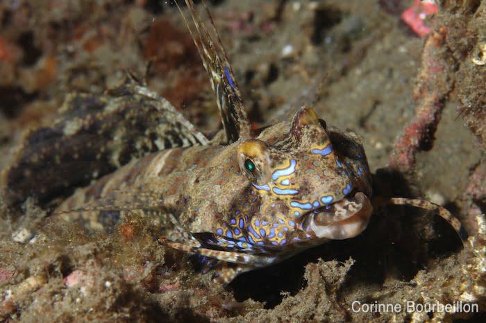 Dragonet. Détroit de Lembeh, Sulawesi, Indonésie. Juillet 2010.