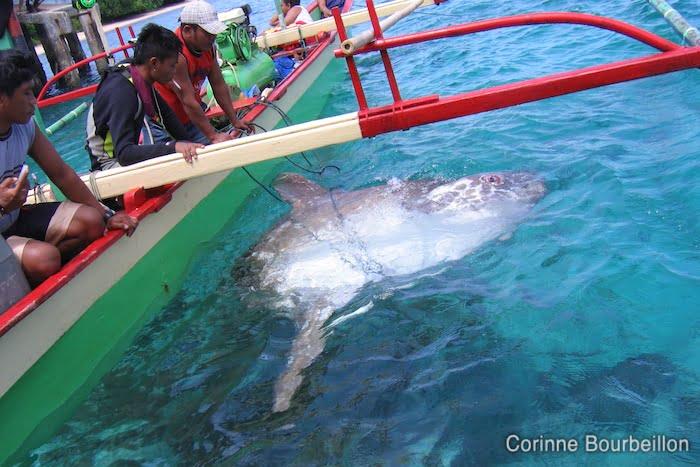 Mola mola-. Bangka Island, Sulawesi, Indonesia. July 2010.
