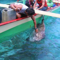Mola-mola. Bangka Island, Sulawesi, Indonésie. Juillet 2010.
