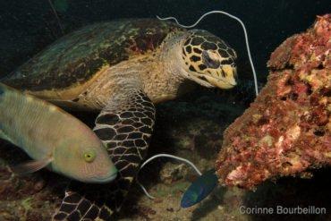 Tortoise. Phi Phi Leh, Thailand. February 2011.