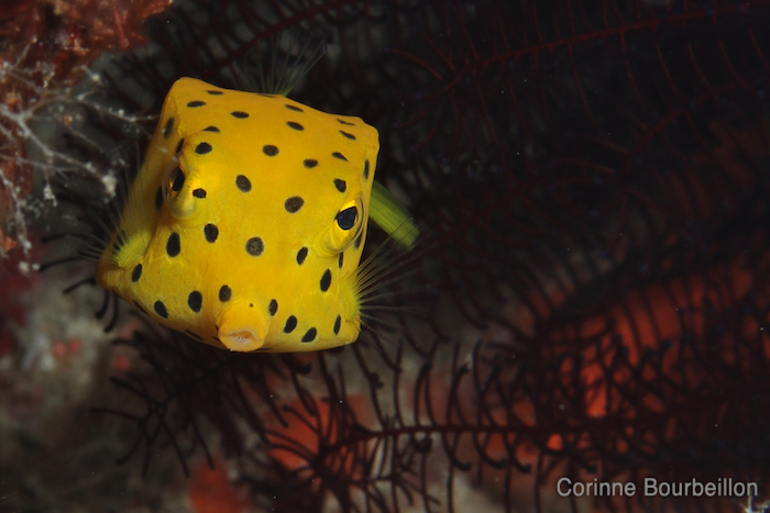 Boxfish. Maumere, Flores, Indonesia. July 2011.