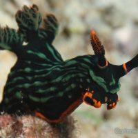 Nudibranch. Maumere Bay, Flores, Indonesia. July 2011.