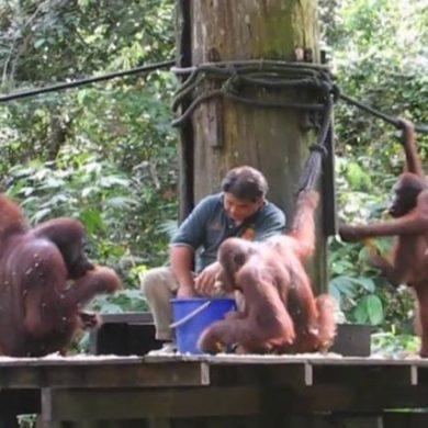 Les orangs-outans de Sepilok. Bornéo, Malaisie.