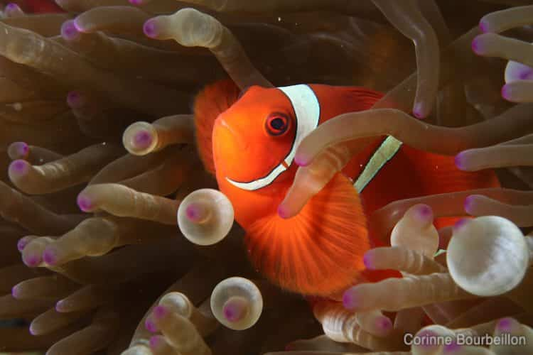 Hi Nemo! An adorable clownfish in his anenome ... (Komodo, Indonesia, July 2011)