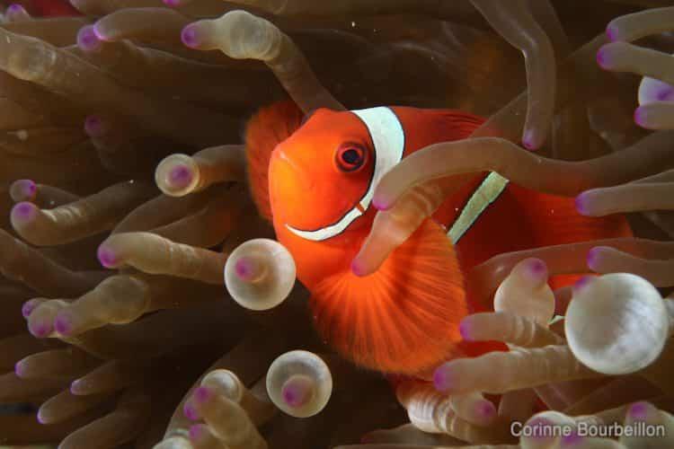 Coucou Nemo ! Un adorable poisson-clown dans son anénome... (Komodo, Indonésie, juillet 2011)