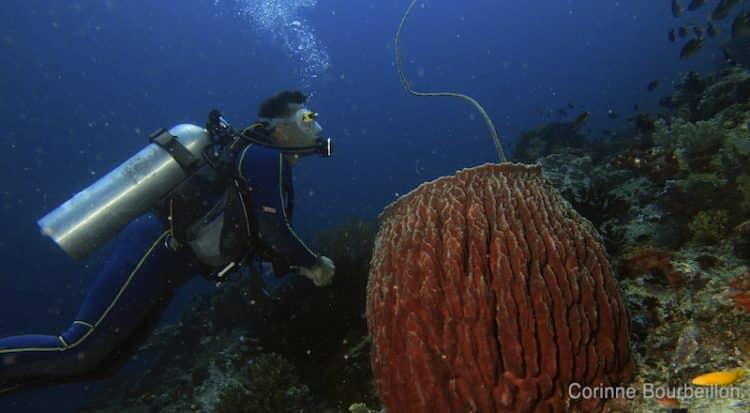 Une éponge barrique. (Komodo, Indonésie, juillet 2011)