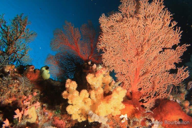 Les récifs arborent des gorgones géantes aux couleurs vives. (Komodo, Indonésie, juillet 2011)