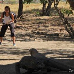 Dragons de Komodo à Rinca. Komodo National Parc, Indonésie, juillet 2011.