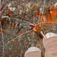 "A ""shrimp manicure"", what do you think?"