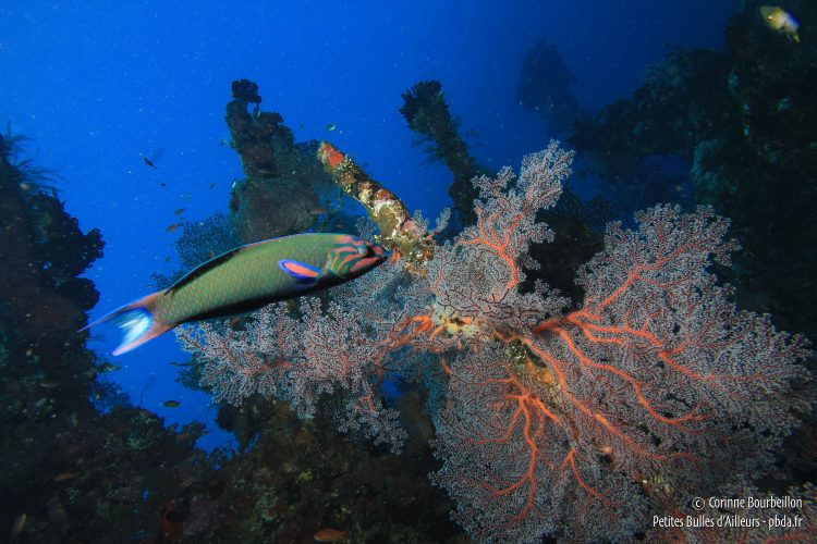 A parrot fish glides over a gorgon on the wreck of the Liberty. (Tulamben, Bali, Indonesia, July 2011)