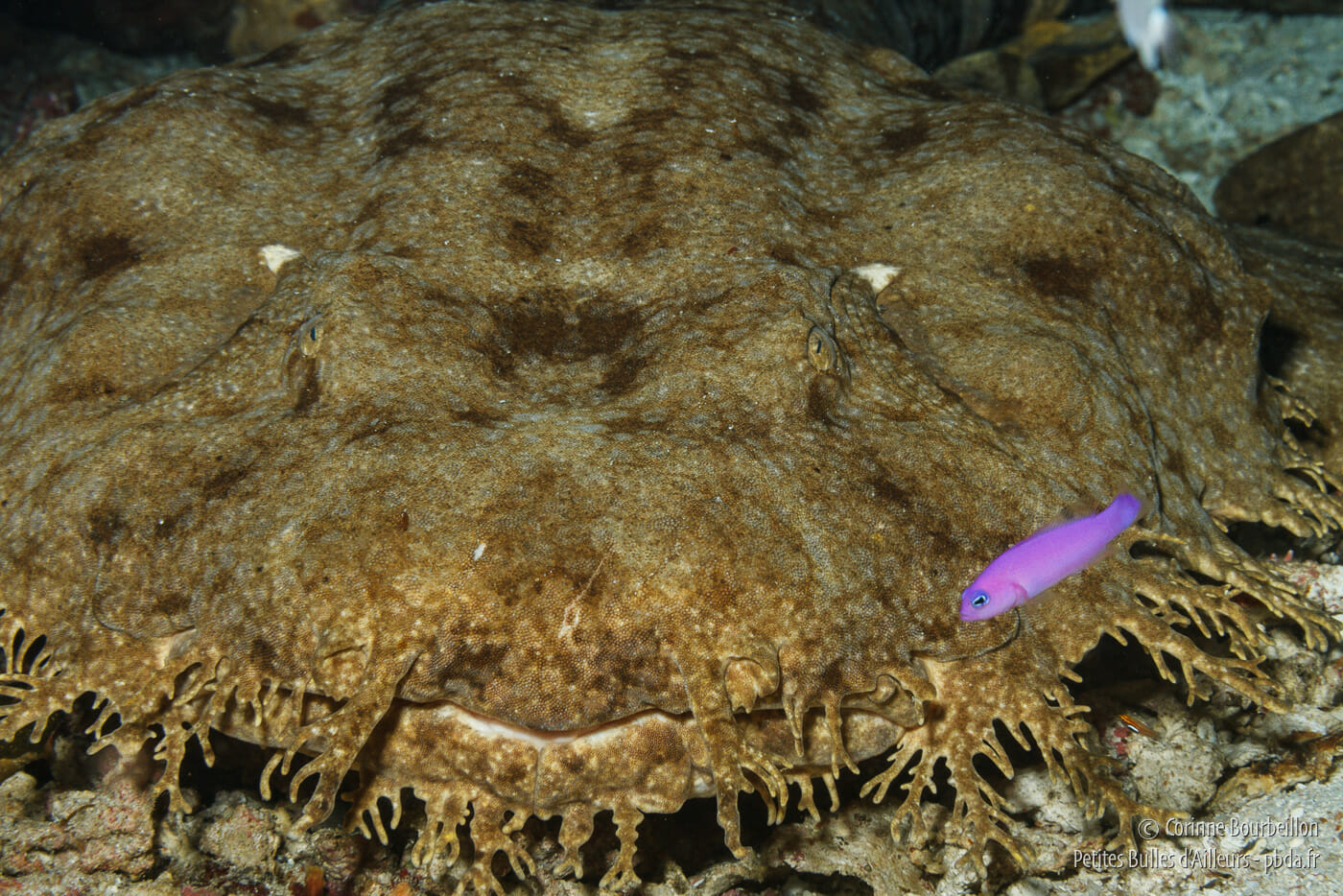 Wobbegong or bearded carpet shark. (Raja Ampat, Papua, Indonesia, March 2012)