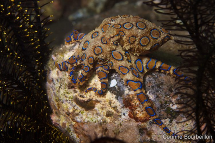 Octopus with blue rings. Blue ringed octopus. Alor, Indonesia. July 2012.