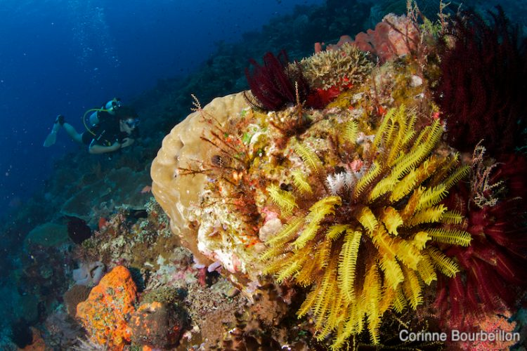 Yellow and red crinoids. Alor, Indonesia, July 2012.
