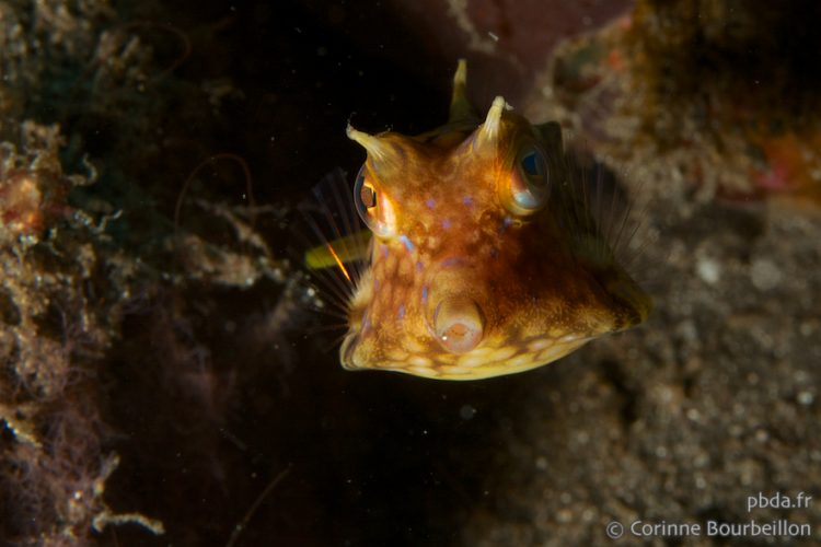 Horned chest fish. Alor, Indonesia, July 2012.