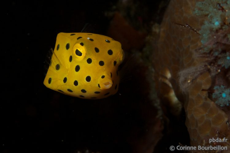 Boxfish. Alor, Indonesia. July 2012.