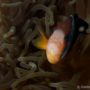 Clown fish. Alor, Indonesia. July 2012.