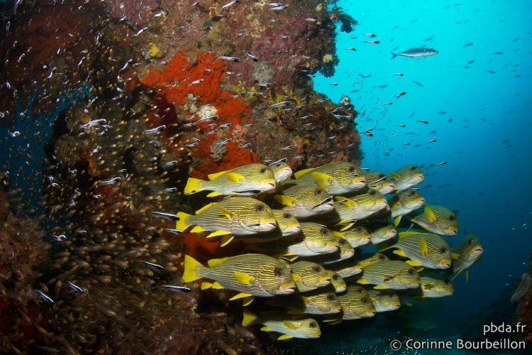 Sweetlips. Otdima, Raja Ampat. Indonesia, July 2012.