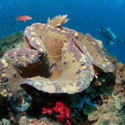 Giant clam. Mioskon. Raja Ampat, Papua, Indonesia. July 2012.