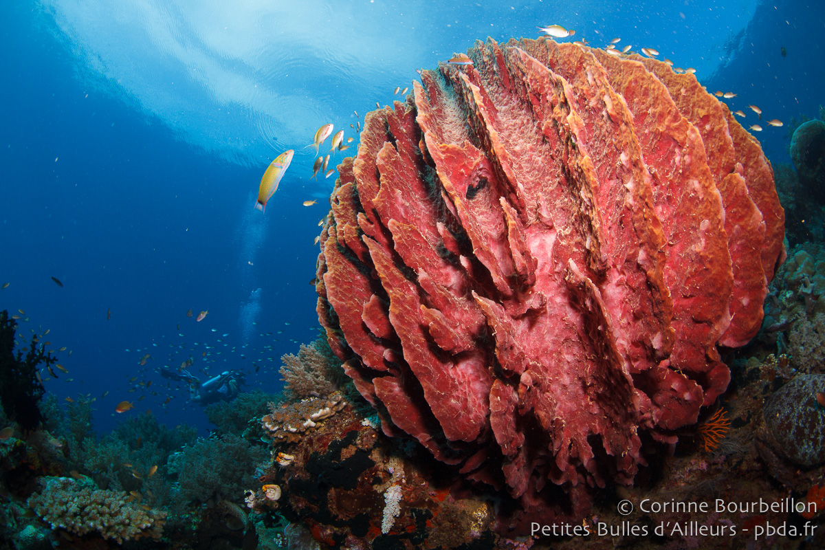 Barrel sponge. Weda Bay, Halmahera, Indonesia. March 2013.