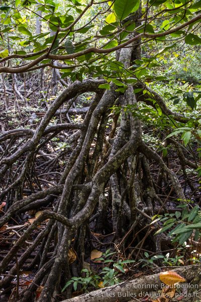 Mangrove. Weda Bay. Halmahera, Indonesia. March 2013.