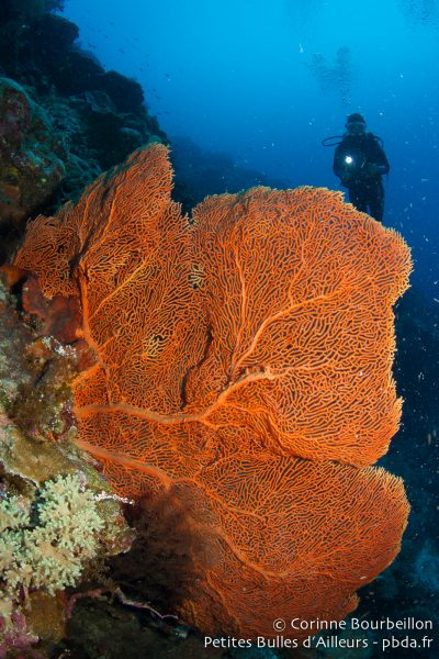 Giant sea fan in Maratua. Derawan Archipelago, Borneo, Indonesia. July 2013.