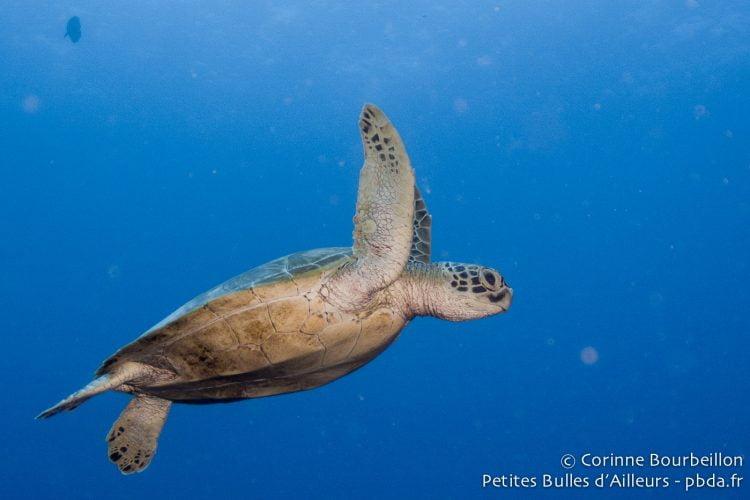 Turtle in Sipadan. Borneo, Malaysia. July 2013.