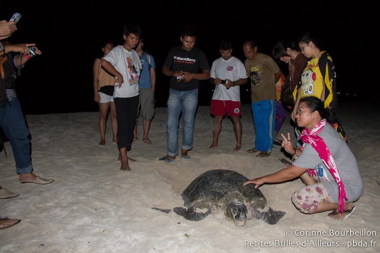 Sea turtle laying on the island of Derawan. Borneo, Indonesia, July 2013.
