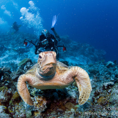 Tortue dans l'archipel de Derawan. Bornéo, Indonésie, juillet 2013.