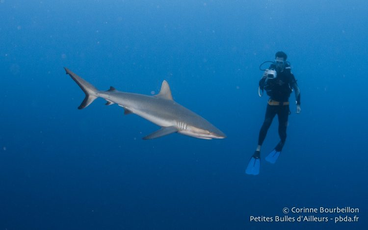 Requin soyeux et plongeur. Rangiroa, Polynésie française. Octobre 2012.