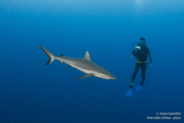 Silky shark and diver. Rangiroa, French Polynesia. October 2012.