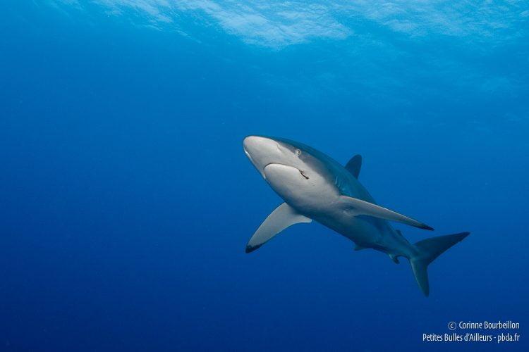 Requin soyeux. Rangiroa, Polynésie française. Octobre 2012.