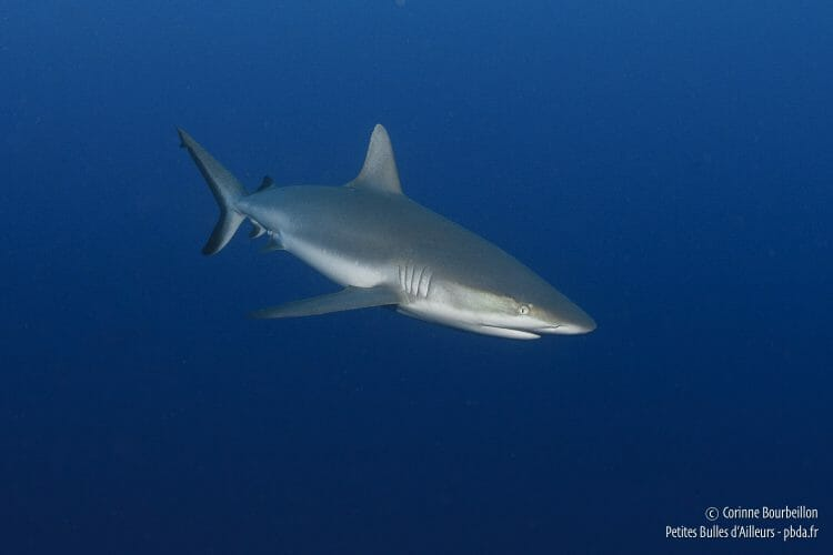 Silky shark. Rangiroa, French Polynesia. October 2012.