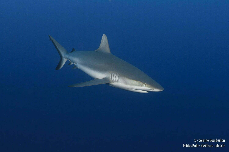 requins polyn eacute siens requin soyeux rangiroa polyneacutesie franccedilaise octobre 2012