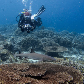 Requin à Sipadan. Bornéo, Malaisie, juillet 2013.