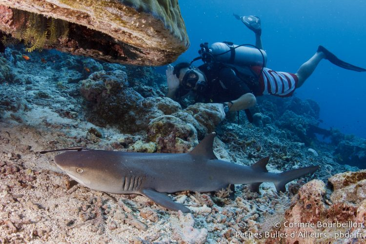 Diver and shark. Sipadan, Borneo, Malaysia. July 2013.