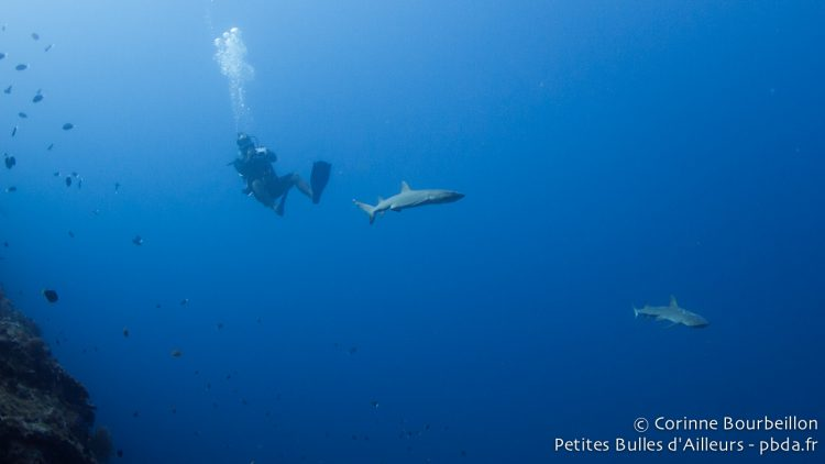 Requins à Sipadan. Bornéo, Malaisie, juillet 2013.