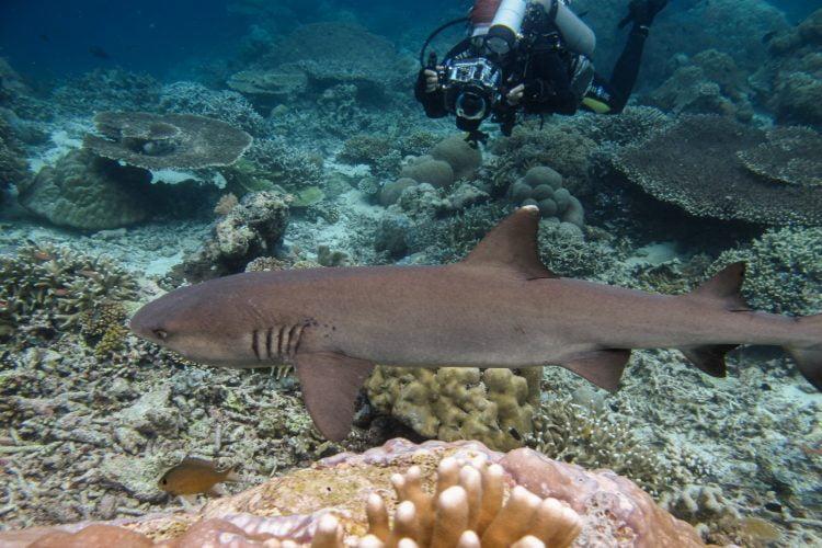 Un requin pointe blanche à Sipadan. Bornéo, Malaisie, juillet 2013.