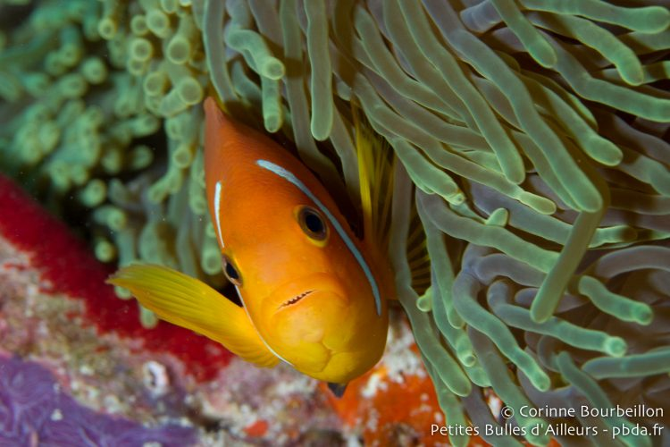Poisson-clown. Hanimaadhoo, Maldives, février 2014.
