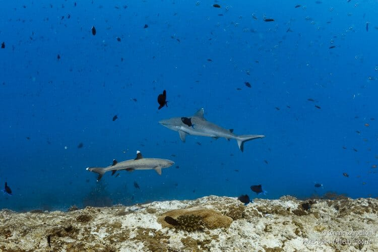 In the passes, white tip sharks of good size pass and repass ... (Maldives, February 2014)