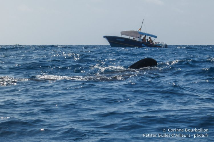 Whale shark seen from the boat. Quintana Roo, Mexico, July 2014.