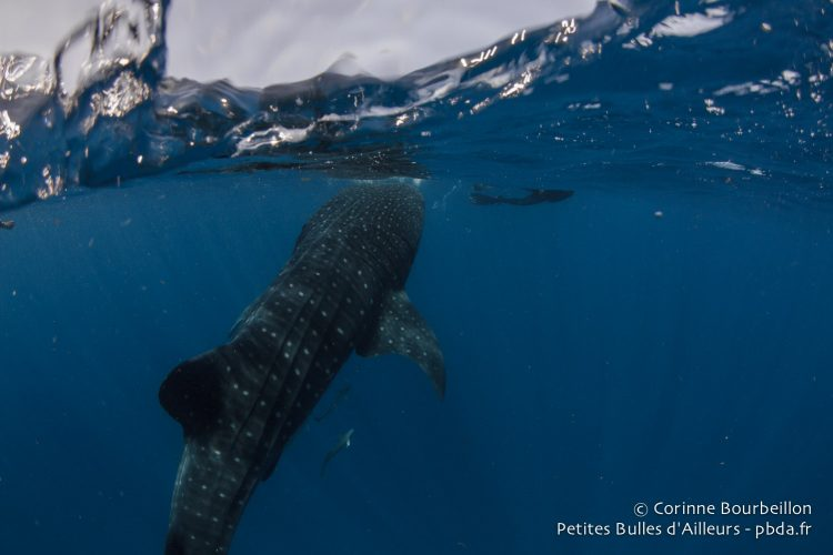 Whale shark. Mexico. July 2014.