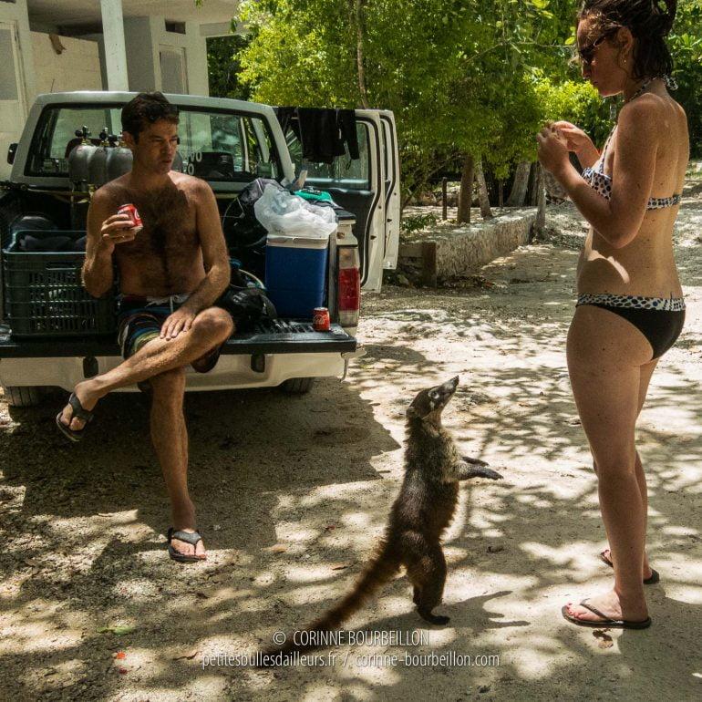 Dressé sur ses pattes arrière, ce coati a pris l'habitude de quémander de la nourriture aux touristes. (Mexique, juillet 2014)