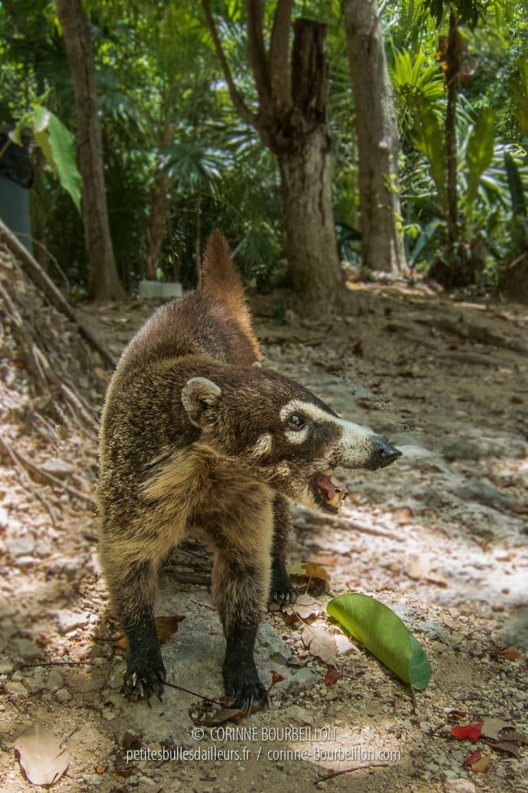 Le coati est un cousin du raton laveur. (Mexique, juillet 2014)