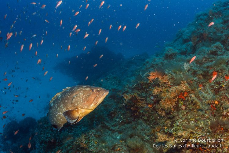 Grouper. Diving in the Mediterranean. July 2014.