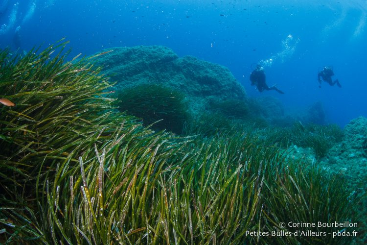 Posidonia. Diving in the Mediterranean. July 2014.
