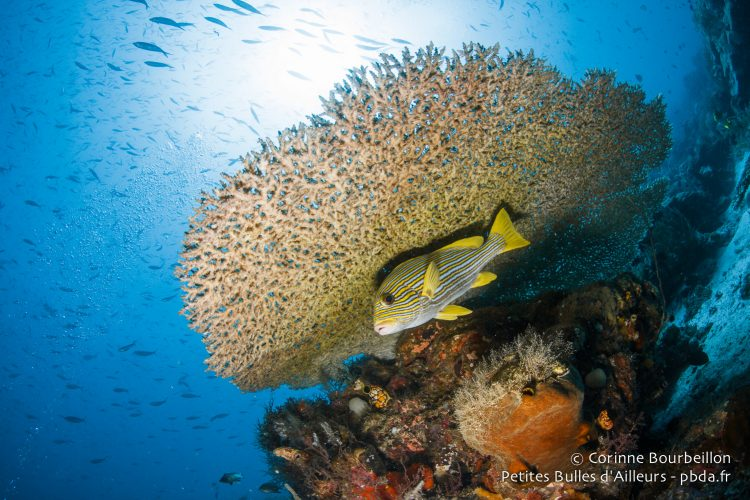 Lonely Gaterin under a coral table. Raja Ampat, West Papua, Indonesia, January 2015.
